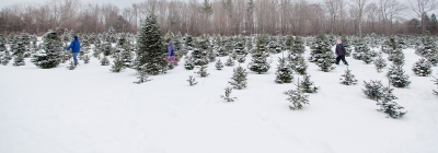 tree farm with snow covering