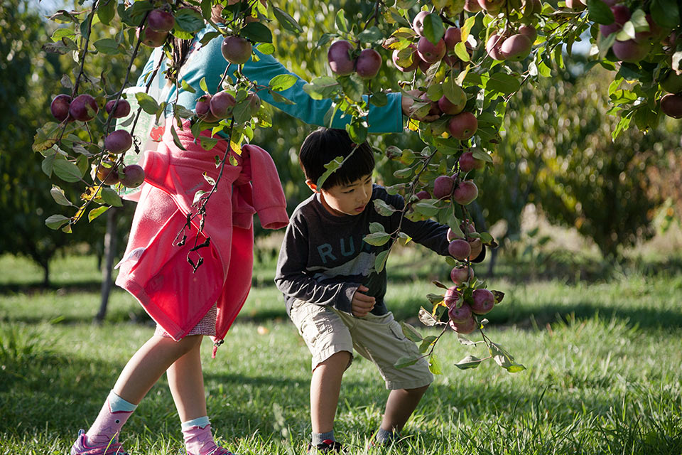 Kids apple picking in an orchard.